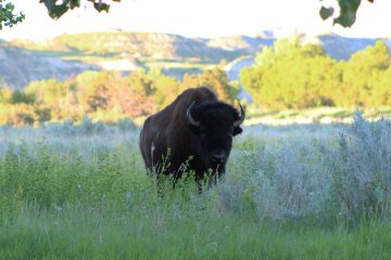 Bison Roaming Free in North Dakota