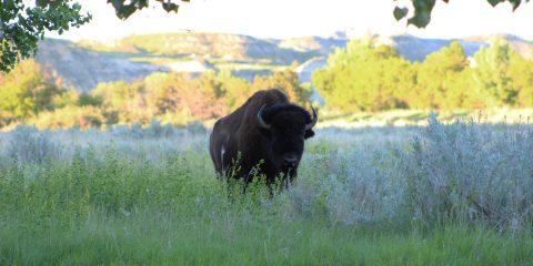 Bison Roaming Free in North Dakota